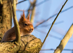 smiley guy (ben cairns) Tags: squirrel isleofwight nikond5200 nikon55300 alverstone alverstonemeadhide orange red