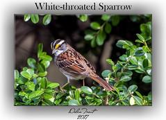 White-throated Sparrow (Dolan Trout) Tags: alabamanaturecenter bird whitethroatedsparrow