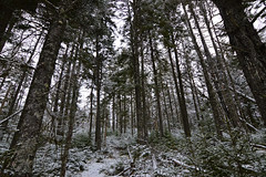Winter In The Forest (TheNovaScotian1991) Tags: victoriapark winter colchestercounty truro novascotia canada maritimes nikond3200 tokina1116mmdxii ultrawideangle hemlocktree treesap forest trees snow tall january fallentree saplings