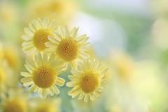 Quad (lfeng1014) Tags: quad quadruplet chrysanthemum mumflower macro macrophotography dof closeup depthoffield bokeh soft light lifeng canon5dmarkiii 100mmf28lmacroisusm centennialparkconservatory toronto
