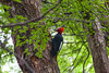 Magellanic woodpecker. (david takes photos) Tags: magallanes magallanesregion magallanesandchileanantarcticaregion chile hiking ocircuit patagonia torresdelpaine torresdelpainenationalpark refugio los perros grey again woodpecker magellanicwoodpecker campephilusmagellanicus foyer