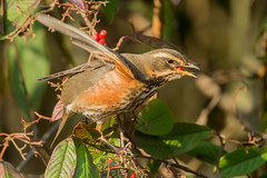 Redwing-9984-2 (Andrew Haynes Wildlife Images) Tags: