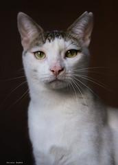 Grim (leporcia) Tags: animales animals animalplanet cat cats chat chatterie chatsdomestics feline felino gatos gato gatto gatti katze katzen grim