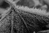 It's Freezing (PhilR1000) Tags: frost ice leaf bw macro hoarfrost winter