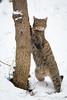Standing besides a tree (Cloudtail the Snow Leopard) Tags: wildkatze wild cat feline katze wildcat felis silvestris mammal säugetier tier animal beutegreifer predator winter schnee snow wildpark bad mergentheim