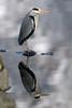 gråhegre (runevoie) Tags: egnehjem gråhegre speiling