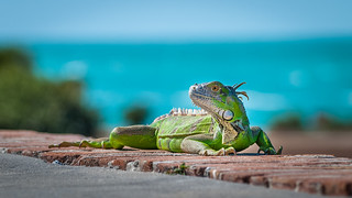 Iguana spotted at Fort Zachary Taylor, Key West, Florida