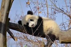 Sleepy Fu Ban at Vienna Zoo (Tiergarten Schönbrunn) (Phil_Meier) Tags: giant panda grosser groser bear bär chinese bambus bamboo cute cuddly animal baby cub bärenjunges jungtier vienna zoo tiergarten schönbrunn wien