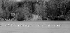 Ligne... (fabakira) Tags: fabakira fabakiraphotography fabakiraphotography2017 nikon d7000 sigma sigma70200 lacdauron bourges oiseau mouette cher noirblanc monochrome