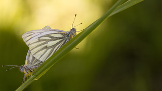 Klein geaderd witje - Green-veined white - Pieris napi