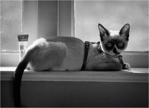 blackandwhite monochrome kitten cat window siamese bella