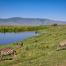 Zebras grazing on hillside beside the hippo pond, Ngorongoro Crater, Tanzania, East Africa