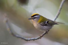 579A5185 (PHILMARC) Tags: roitelettriplebandeau oiseaux roitelet common firecrest regulus ignicapilla