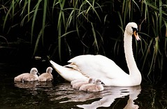 Sally - Swan and her 5 babies (Christine*) Tags: wildlife swans mute cygnets