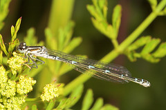 """Damselfly(2)(1)(1) • <a style=""""font-size:0.8em;"""" href=""""http://www.flickr.com/photos/57024565@N00/159165546/"""" target=""""_blank"""">View on Flickr</a>"""