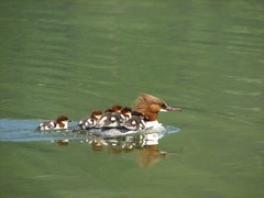 Carrying the kids (Fredww) Tags: finland duck helsinki wildlife baltic mergusmerganser s2 commonmerganser