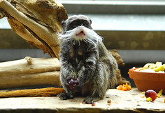 it's mine! (bea2108) Tags: cute animal animals zoo monkey tamarin emperortamarin i500 interestingness434 specanimal