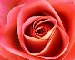 Amor (Gary*) Tags: pink flower macro texture love rose petals amor amour inspirational jellybean liebe foreverlove interestingness29 abigfave jbxxxxxxxbf