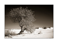 i will survive (elfis gallery) Tags: road trees blackandwhite bw plants usa white plant black southwest tree nature monochrome america wow landscape grey landscapes unitedstates whitesands loveit schwarzweiss weiss wildwest schwarz myfavs whitesandsnationalmonument 50v5f scharzweiss graustufen 20favs schwarzundweiss bilderfantasien newmexiko todolist1 abigfave southwestofusa