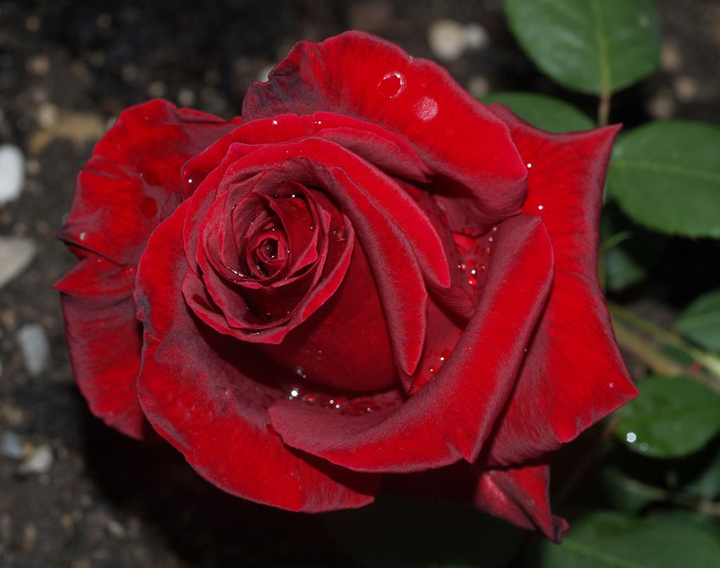 rosas vermelhas no meu jardim ? Doitri.com
