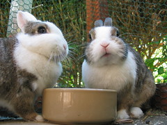 duo nijntjes (ksvrbrg) Tags: cute rabbit bunnies angel konijn eating adorable twinkle rabbits