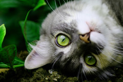 Miss Dutches (J.H.C.) Tags: pet cats verde green topv111 cat eyes chat vert yeux greeneyes ojos gato topv50 abigfave jhcphotography