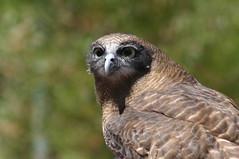 Barking Owl (mrdehoot) Tags: bird owl australianbirds barkingowl ninoxconnivens