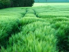 Green fields (_Marcel_) Tags: green texture grass landscape spring feld grn landschaft springtime frhling wolfenbttel kornfeld atzum 0x4e9a50