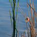 Cattails going to seed - color