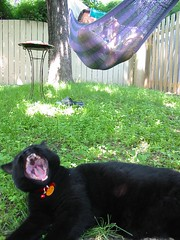 Tough life (Martyne) Tags: cat blackcat mini hammock blork catyawning themini