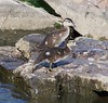 Time for a break (makeupanid) Tags: toronto highpark ducklings duckpond woodduck featheryfriday commentonmycuteness