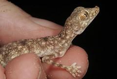Stenodactylus khobarensis Ruwais in hand (Drew Gardner) Tags: desert uae gecko abu dhabi stenodactylus sabkha ruwais khobarensis
