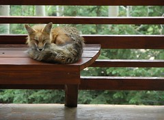 Fox Asleep on the Deck (Rob Lee) Tags: sleeping house cute animal colorado deck evergreen fox porch freddy redfox freddyfox