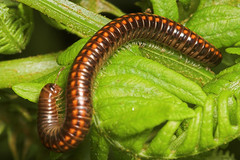 """Millipede 3 • <a style=""""font-size:0.8em;"""" href=""""http://www.flickr.com/photos/57024565@N00/178348131/"""" target=""""_blank"""">View on Flickr</a>"""