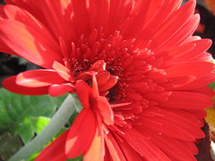 Red Gerber Daisy (audreyjm529) Tags: red brown flower macro green petals stem sunny stamen daisy delicate gerber anther