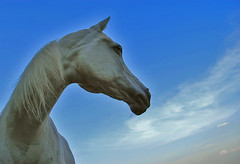 white&blue (bea2108) Tags: horses horse beautiful animal animals arab arabian arabianhorse arabianhorses 123faves