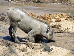 lekker spelen in de modder, wrattenzwijntje (patries71) Tags: hog beeksebergen zwijn wrattenzwijn finepixs5600 patries71