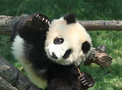 "Coming to a ""shoe"" near you! (somesai) Tags: animal paw panda tian tai claw topdown nationalzoo hanging endangered pandas meixiang pullup pandacub taishan dczoo butterstick reachup"