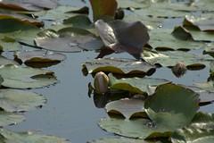_MG_5060 (Elwyn / Elwynsattic) Tags: park flowers lake nature water garden pond md waterlily hiking meadow july maryland arboretum 2006 trail waterlilies watergardens biking wildflowers lilypond lilypons adamstown lilyponswatergardens