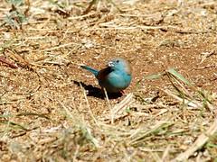 Blue Waxbill (Makgobokgobo) Tags: africa bird garden gaborone botswana waxbill bluewaxbill uraeginthusangolensis bluebreastedcordonbleu uraeginthus