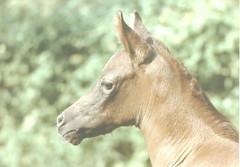 Sarah (Big Grey Mare) Tags: portrait horses horse baby animals faces quiron equine foal arabians