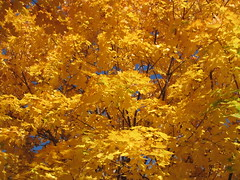 "Maple Tree in Full Autumn ""Bloom"""