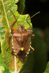 """Forest Shield Bug (pentatoma rufipes)(1) • <a style=""""font-size:0.8em;"""" href=""""http://www.flickr.com/photos/57024565@N00/184003987/"""" target=""""_blank"""">View on Flickr</a>"""