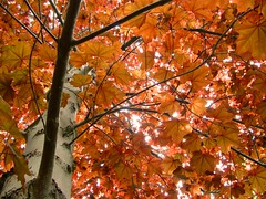 Orange Leaves (Mark Veitch) Tags: wood red orange sun tree up leaves tag3 taggedout leaf maple tag2 tag1 branches illumination 123 321 limbs