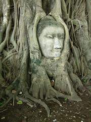 Thailand.2004-09-18.0055 (DigitalTribes) Tags: tree 2004 face thailand interestingness asia southeastasia buddha buddhist wat siam th dt ayutthaya ราชอาณาจักรไทย digitaltribes interestingness181 markoneil ไทย i500 อยุธยา