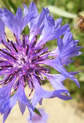 Purpley (Micky**) Tags: flower macro tag3 taggedout micky tag2 tag1 purple specnature thewroldthroughmyeyes zlimen