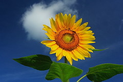 Love Sunflower ~ (AllenHsu) Tags: 510fav ilovenature taiwan 2006 sunflower notfv10  taoyuan   guanyin  mixedflowers flowersarebeautiful excellentsflowers natureselegantshots exquisiteflowers mimamorflowers mimamamorflowers panoramafotogrfico thebestofmimamorsgroups greatshotss macroselsalvador theoriginalgoldseal flickerflrescloseupmacros