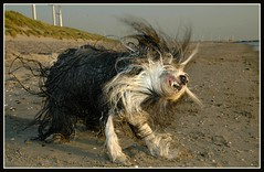 SHAKE IT OFF BABY (Jan2eke) Tags: dog pet pets beach dogs nikon d70s shake cleo beardie beardedcollie beardies maasvlakte shaking happyfurryfriday