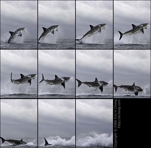 Great White Shark Breach Photos at False Bay, Cape Town