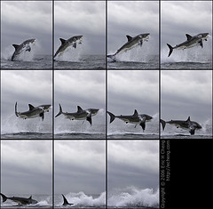 Great White Shark Breach at False Bay (echeng) Tags: southafrica shark seal greatwhiteshark simonstown falsebay breach sealrock